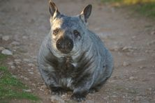 Wombat Awareness Organisation - Southern Hairy Nosed Wombat