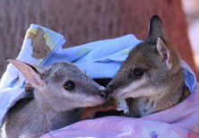 Young Wallabies in Care at the Kimberley Wildlife Rescue