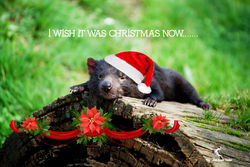 On the 10th Day of Christmas this Tasmanian Devil wished it was Christmas already