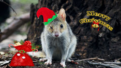 Eastern Quoll becomes Santas Little Helper in the Aussie Bush