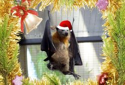 14th Day of Christmas this Flying Fox struggles to keep it's Santa Hat on!