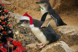 On the 15th Day of Christmas this Little Penguin is hoping these presents are full of fish and squid!