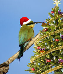 On the 16th Day of Christmas the Rainbow Bee-eaters are trimming the tree.