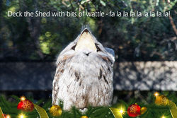 On the 17th Day of Christmas the Tawny Frogmouth is singing Aussie Christmas Carols