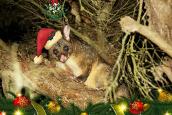 On the 18th Day of Christmas cheeky Mr Brushtail Possum hangs out directly under the mistletoe!