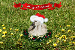 On the 21st Day of Christmas this Cygnet has found a Santa Hat as fluffy as it is.