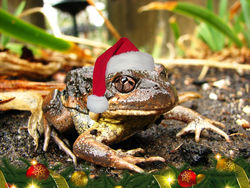On the 22nd Day of Christmas this frog is hoping for a new pond from Santa