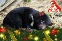 On the 23rd Day of Christmas the Tasmanian Devil dreams of big christmas dinners
