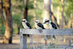Kookaburras fence sitting as the sun sets over the bush