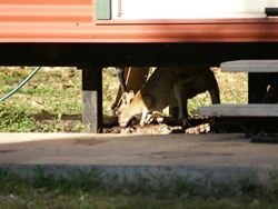 Agile Wallaby crawls under a house to find water - Northern Territory