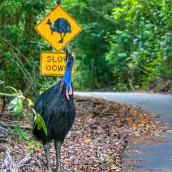 Be Cass-o-wary in Far North Queensland - great photo by David White