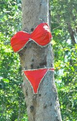 This tree has the figure for a bikini - so why not? Mission Beach QLD - photo by Penny Smith