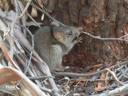 Black Rat - feral species of Australia