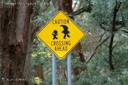 Bush Pixie crossing - really! - High country of Victoria
