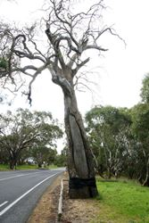 Aboriginal people have cut out a canoe from this tree a long time ago - South Australia