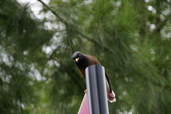 Common Myna - Feral Species not to be confused with the Indian Myna - a native species