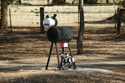 This cow letterbox used to stand on her own - but now she has a calf! - Victoria