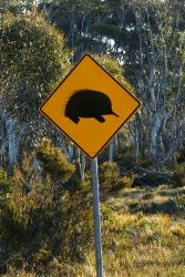Watch out for Echidnas - they don't have the speed your car does - Tasmania