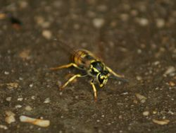 European Wasp - Feral insect that devastates our native bees