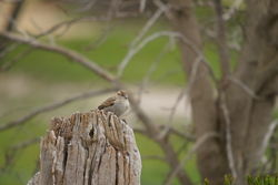Female Sparrow - so small but so invasive!