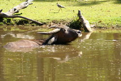 Feral Buffalo keeps cool in the waterways of the Top End of The Land Down Under - Australia