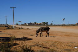 Feral Donkey of Silverton in NSW - The Land Down Under, Australia