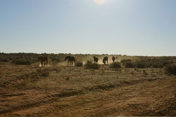 Wild Brumbies - Feral Horse of the outback in NSW