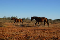 Feral Horses - wild Brumbies of outback NSW - The Land Down Under