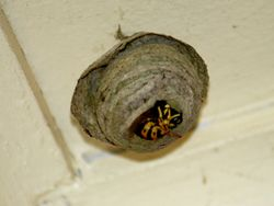 Feral Insect - The European Wasp and Nest