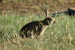 Feral Rabbits - devastating to plant life which feeds native animals
