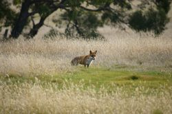Fox - Feral species to Australia