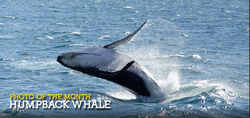 Young humpback whale calf breaches from the depths of the ocean at Eden on the NSW coast.