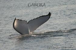 Humpback Whale Fluke - Gawura