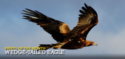 King of the Australian Skies - the Wedge-tailed Eagle