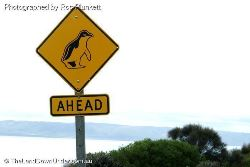 Little Penguins Ahead