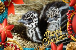 On the 5th Day of Chrismtas Emu Chicks wonder what all the fuss is about