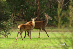 Female Red Deer and Fawn - feral species of the Grampians National Park Victoria