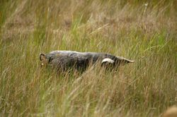 Small feral pig of Central Victoria