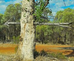 Subtle Signs - Directional Tree outback Queensland. Photo by Penny Smith