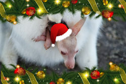 The 2nd day of Christmas this little Wallaby Joey wants out - it's Christmas!