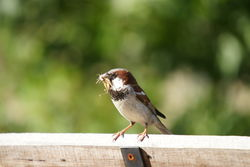 The Sparrow - it's cute, common and feral!