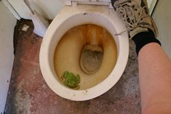 Green Tree Frog has made itself at home in to the loo! - Northern Territory
