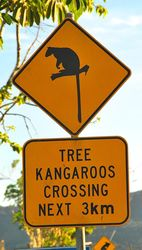 Watch out for tree kangaroos in far north Queensland - photo by Penny Smith