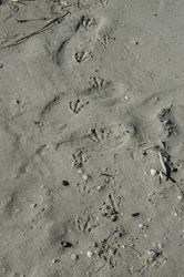 Unknown Shorebird Tracks
