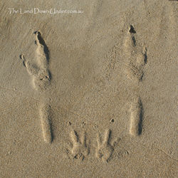Wallaby tracks on the beach - South Australia