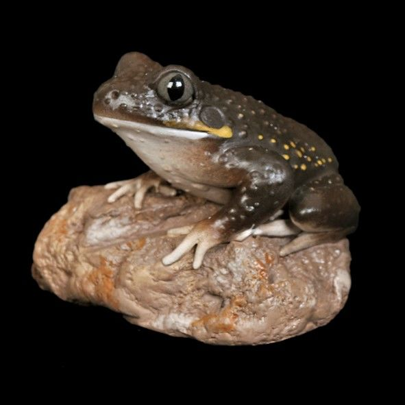 Giant Burrowing Frog Figurine - The Land Down Under