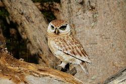 Boobook Owl Indoor Outdoor Statue