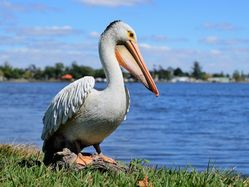 Pelican Indoor Outdoor realistic statue - The Land Down Under